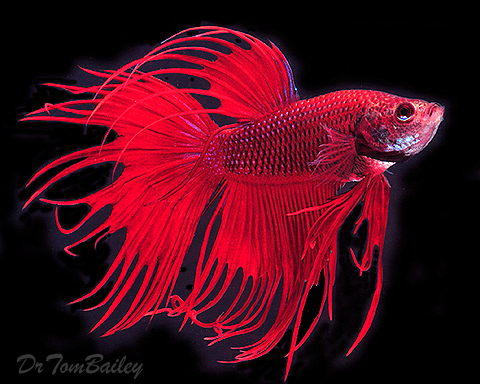 Red the fish for How big can a betta fish get